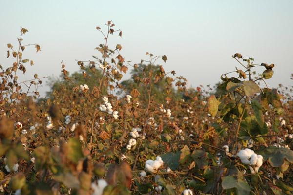 収穫されたコットンの実から種を取り除いてまとめたものを『原綿』と呼びます