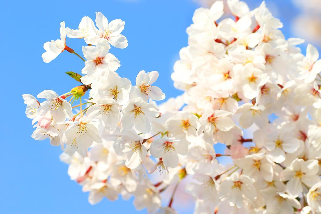 cherry-blossom_00133
